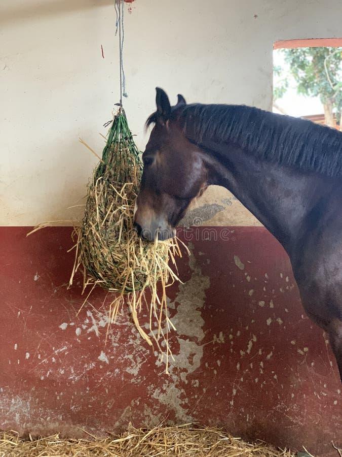 Paard die Hooi in de oude stal eten royalty-vrije stock fotografie