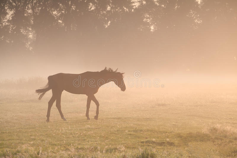 Paard die in ochtendmist lopen royalty-vrije stock afbeelding