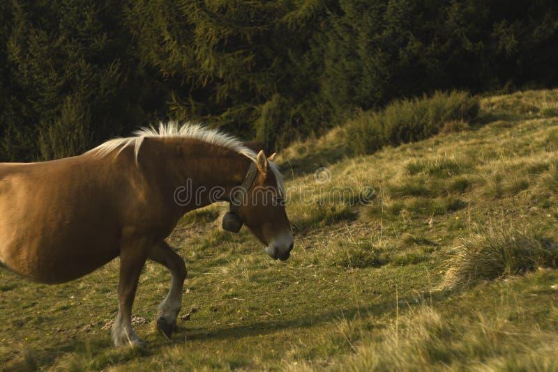 Paard die op een bergweiland lopen met pijnboombomen in backg royalty-vrije stock afbeelding