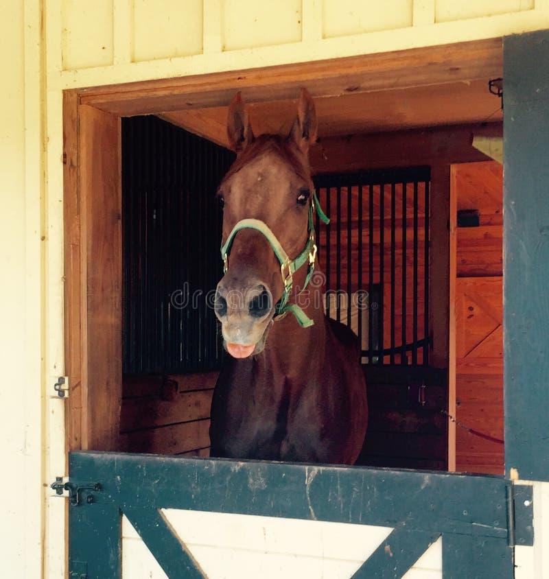 Paard die uit zijn tong plakken stock foto