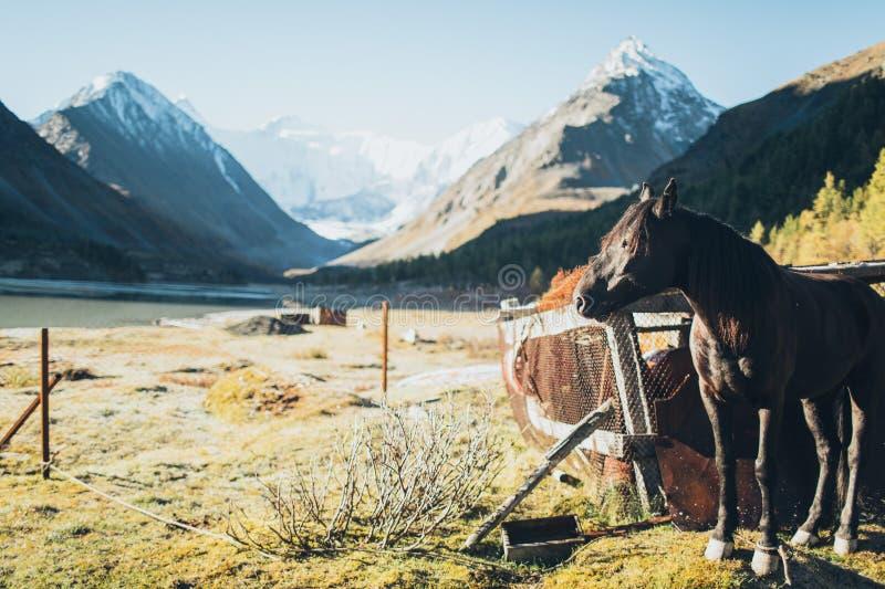 Paard die zich in Altay Mountains bevinden stock fotografie
