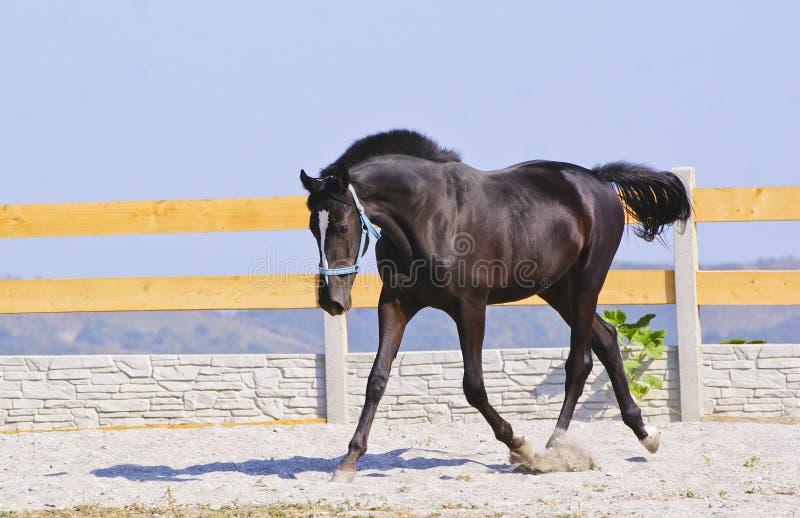 paard in een blauwe halter op het zand in de paddock stock afbeeldingen