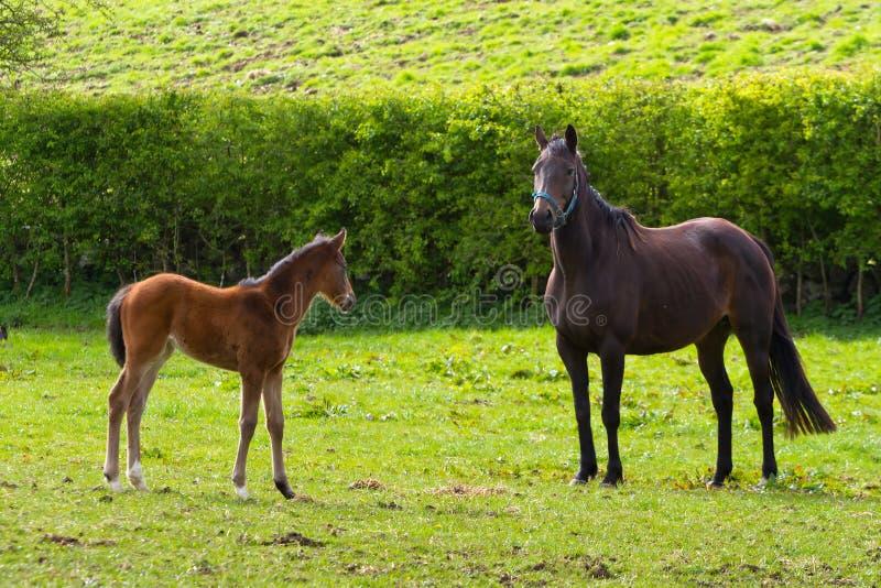 Paard en het veulen royalty-vrije stock afbeelding