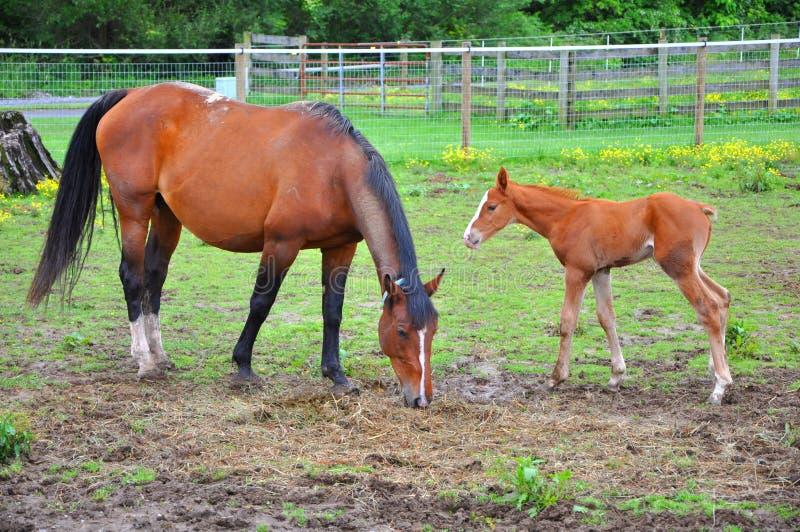Paard en merrieveulen stock foto