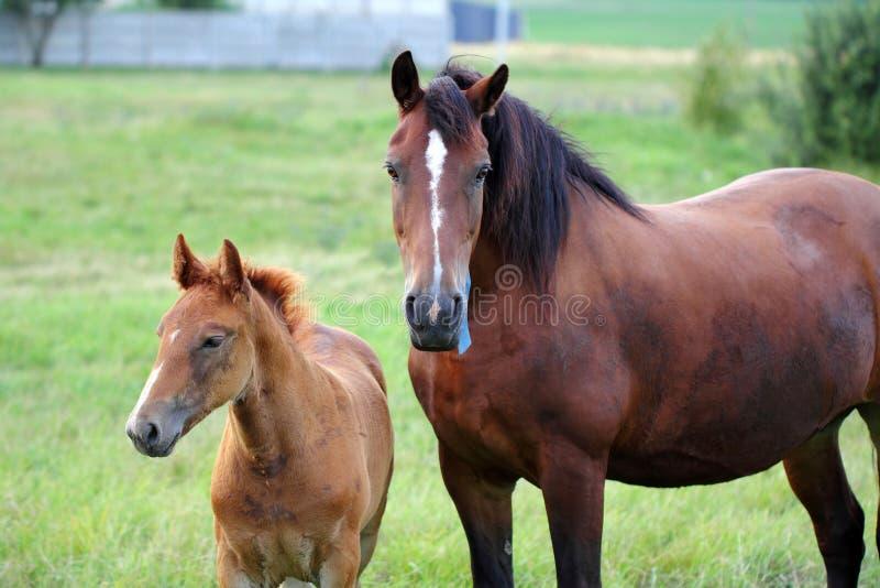 Paard en veulen stock afbeelding
