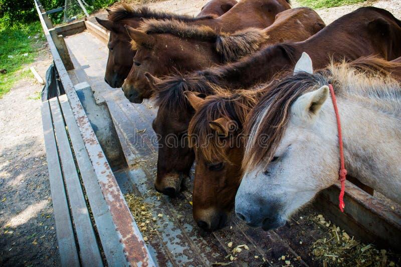 Paard het eten stock afbeelding