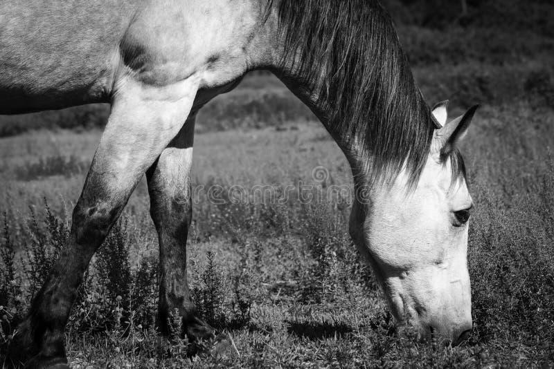 Paard het Kauwen op Zwart-wit Gras royalty-vrije stock afbeeldingen