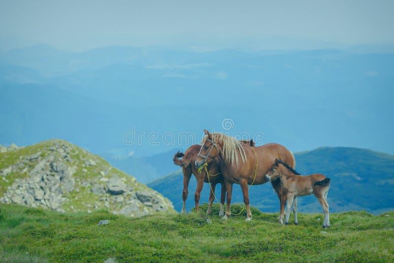 Paard het weiden in een vallei van de weide Oekraïense Karpatische berg stock afbeeldingen