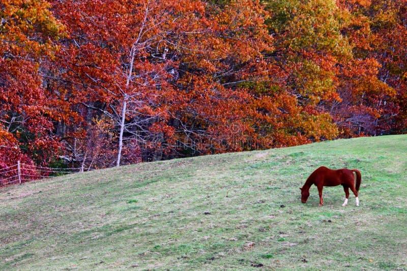 Paard het weiden op gebied met dalingsgebladerte stock afbeelding