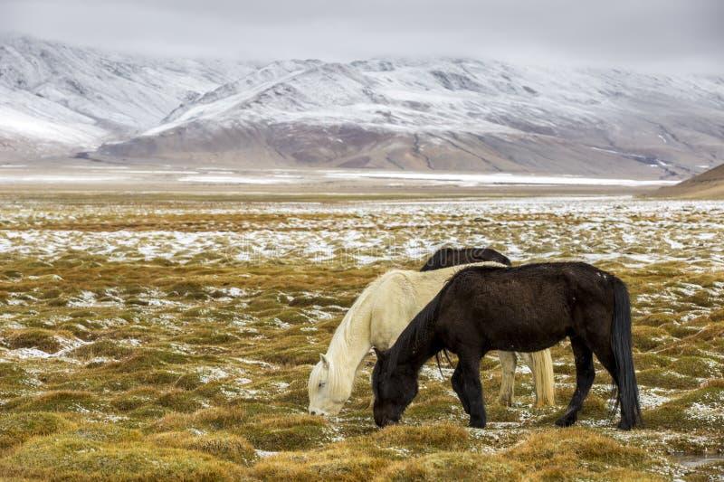 Paard het Weiden tijdens sneeuw - Ladakh India royalty-vrije stock foto's
