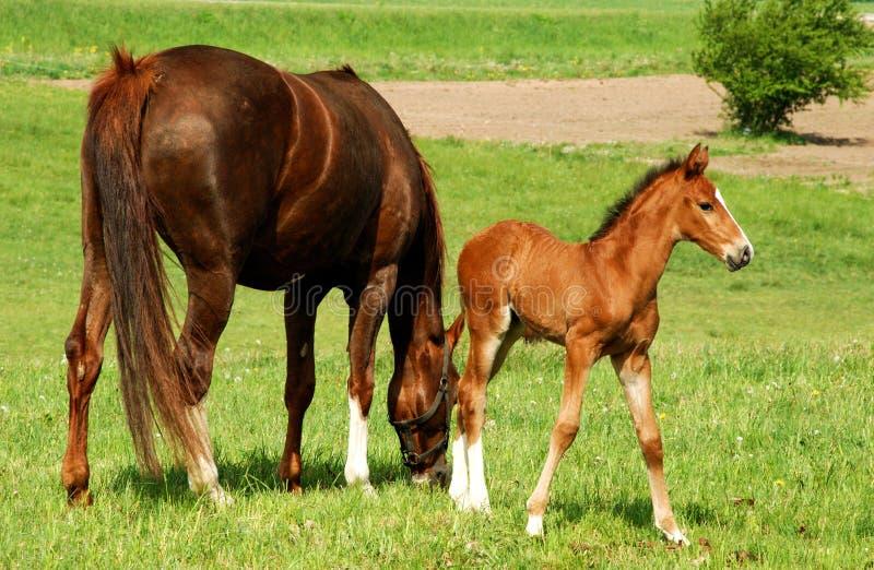 Paard met een babyveulen stock fotografie