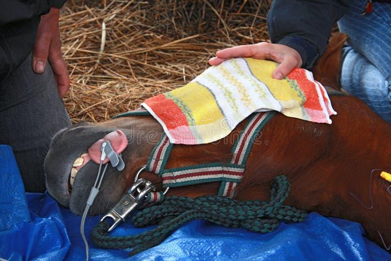 Paard onder narcose stock foto's