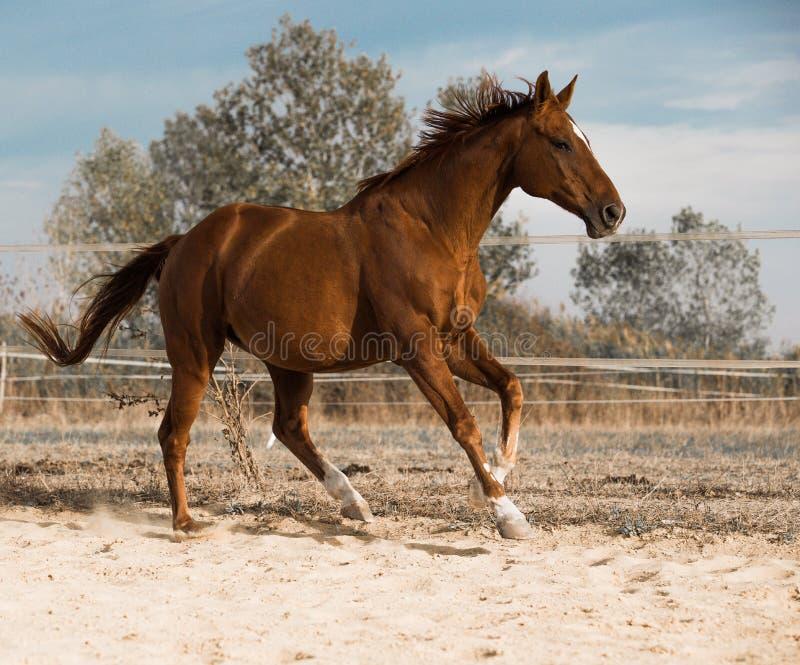 Paard op aard Portret van een paard, bruin paard stock fotografie