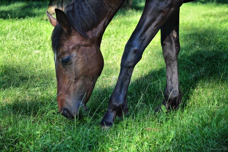 Paard op een gebied die groen gras eten royalty-vrije stock foto