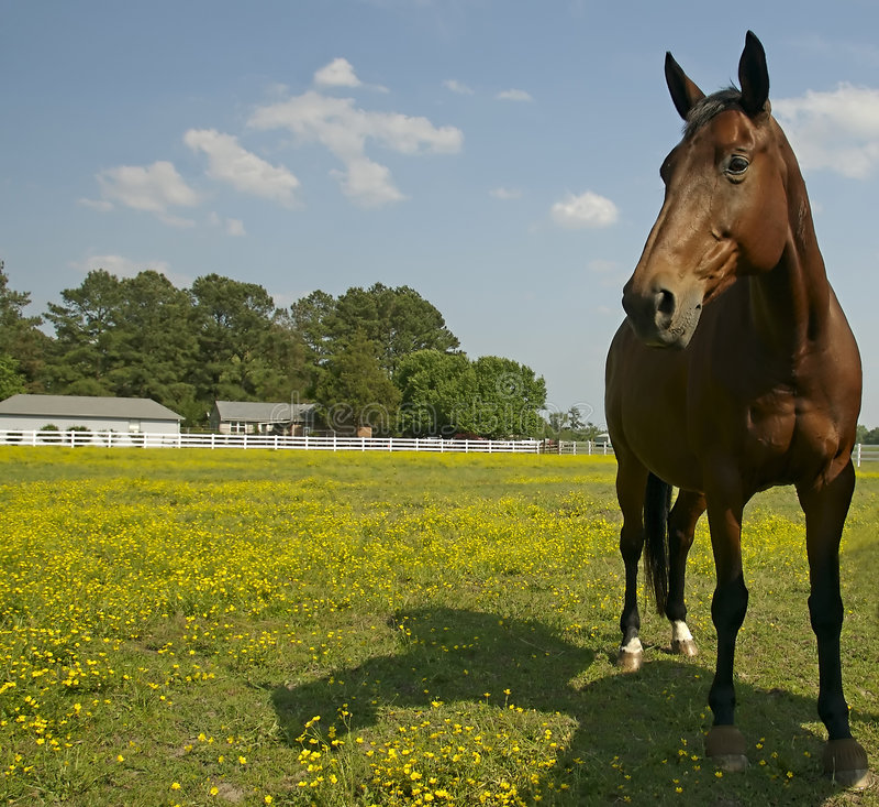 Paard op gebied royalty-vrije stock fotografie
