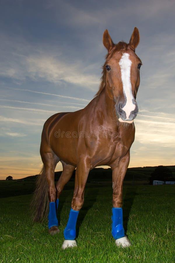 Paard op gebied bij zonsondergang stock afbeeldingen