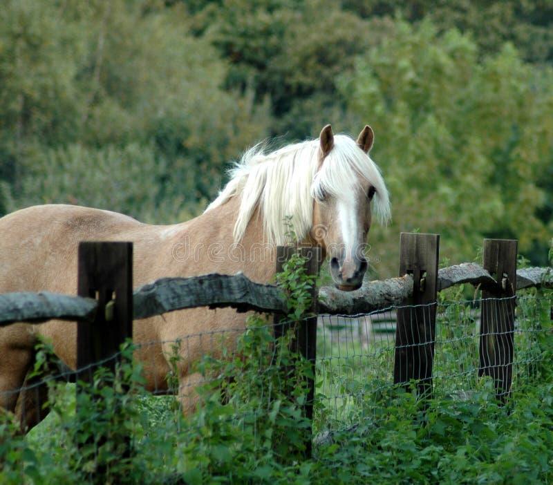 Paard op gebied die over omheining turen stock foto's
