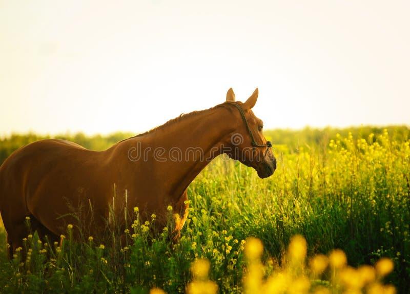 Paard op het gebied in de avond stock afbeelding