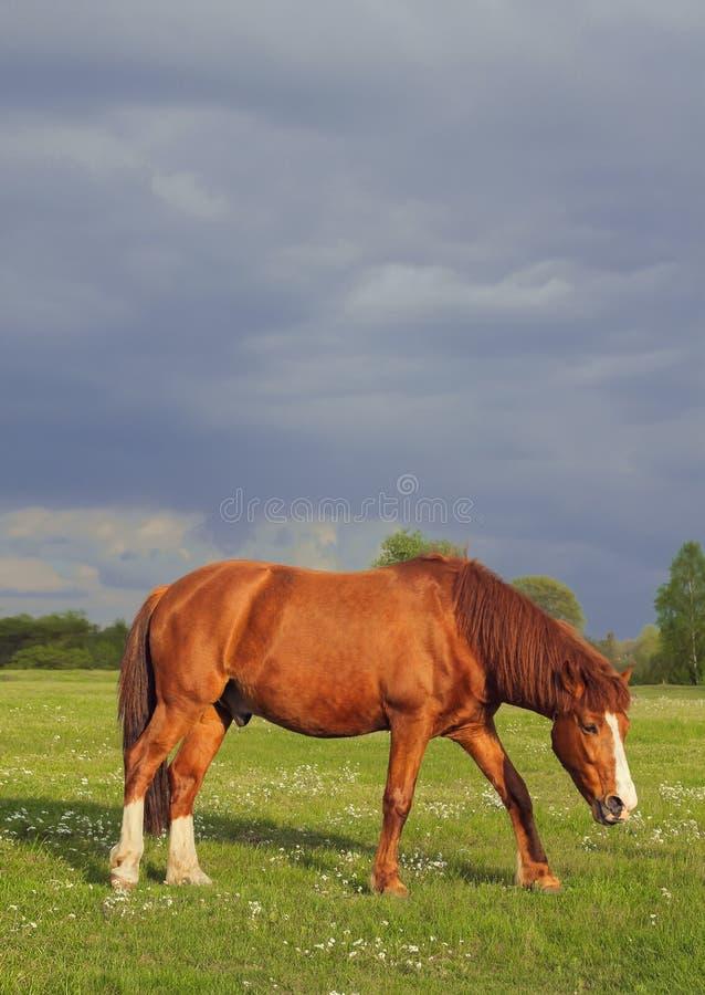 Paard op het veld stock afbeelding