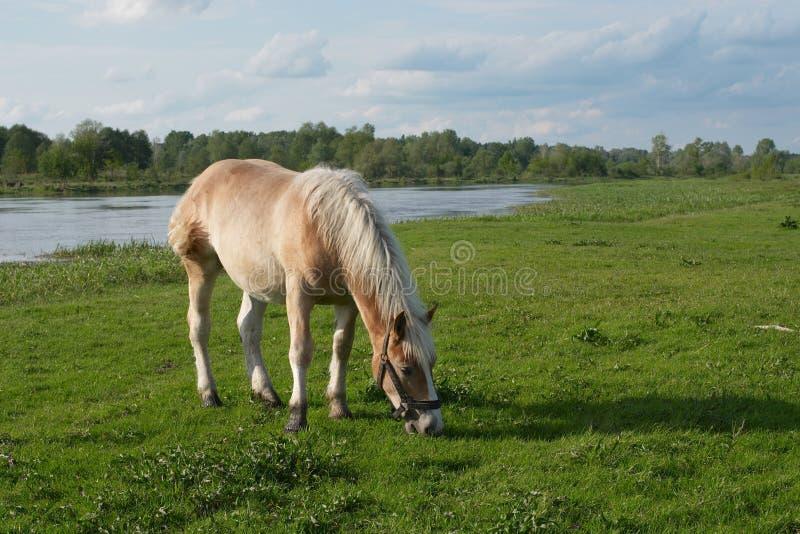 Paard op weide stock afbeelding