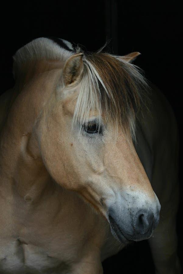 Paard op zwarte stock foto