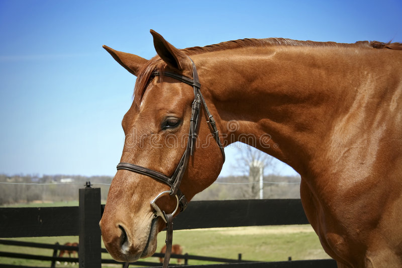 Paard in teugel royalty-vrije stock foto's
