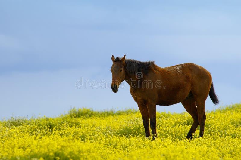 Paard tussen bloemen stock fotografie