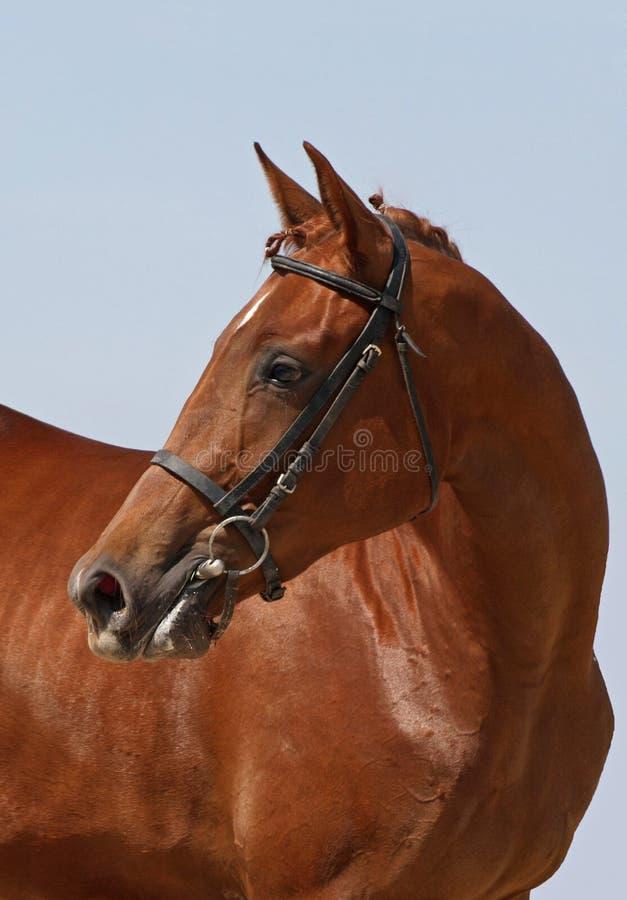 Paard van de portret het mooie kastanje royalty-vrije stock afbeelding