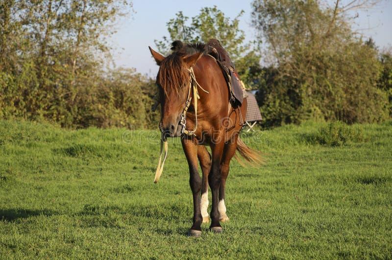 Paard van Kaspisch ras, rode kleur in één van de lagunes van C stock afbeelding