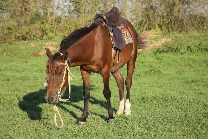 Paard van Kaspisch ras, rode kleur in één van de lagunes van C royalty-vrije stock afbeeldingen