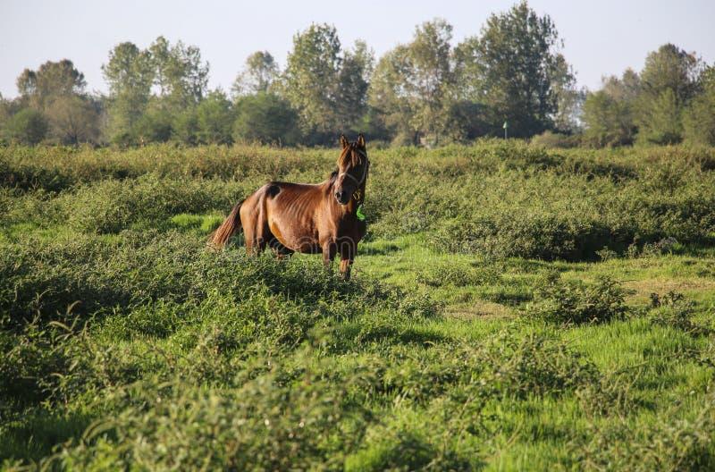 Paard van Kaspisch ras, rode kleur in één van de lagunes van C royalty-vrije stock afbeelding