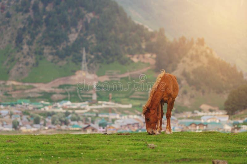 Paard weidend gras op weide in Sonamarg, Jammu en Kashmir, India royalty-vrije stock afbeelding