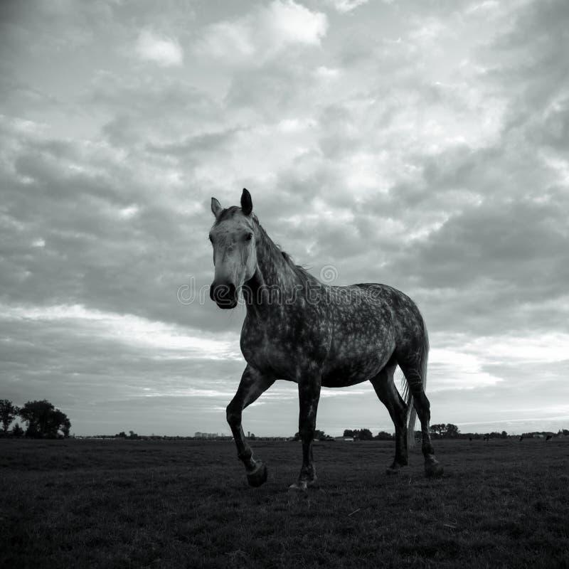 Paard in zwart-wit stock afbeeldingen