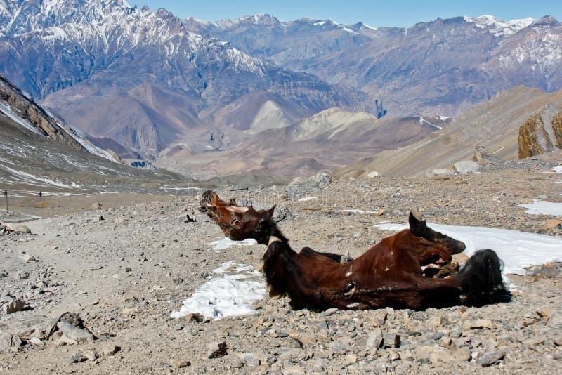 Paardaas dat in de bergen van Himalayagebergte wordt verlaten stock afbeelding