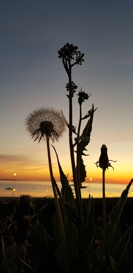 Paardebloem bij zonsondergang royalty-vrije stock afbeeldingen