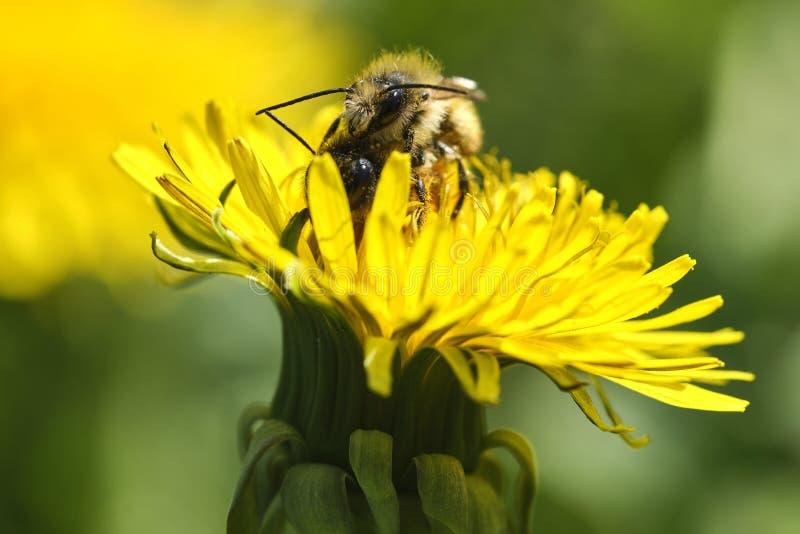 Paardebloem en Bijen stock afbeeldingen