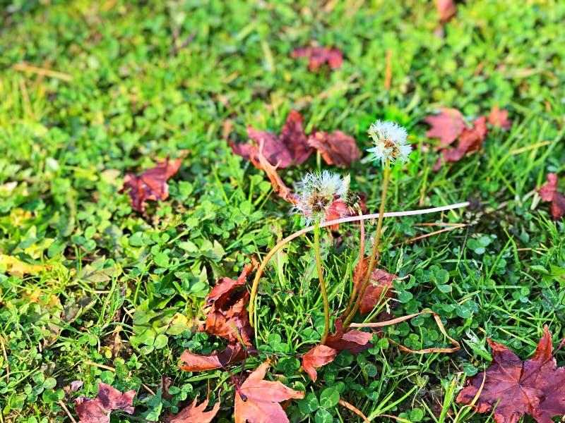 Paardebloem en het gras met de herfstblad stock fotografie