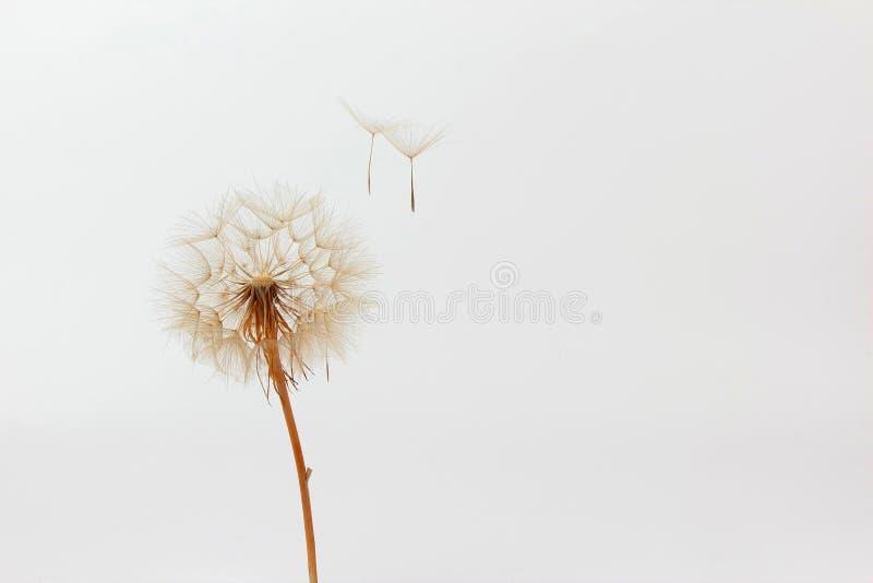 Paardebloem en zijn vliegende zaden op een witte achtergrond royalty-vrije stock foto's