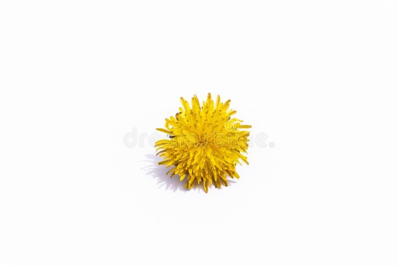 Paardebloem gele die bloem op witte achtergrond wordt ge?soleerd Vlak leg, hoogste mening royalty-vrije stock foto's