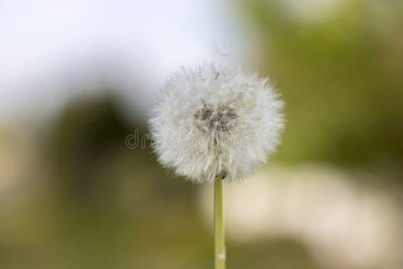 Paardebloem met vliegende zaden, natuurlijke Achtergrond stock afbeeldingen