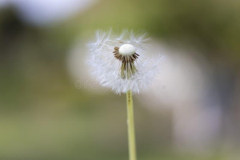 Paardebloem met vliegende zaden, natuurlijke Achtergrond royalty-vrije stock afbeeldingen