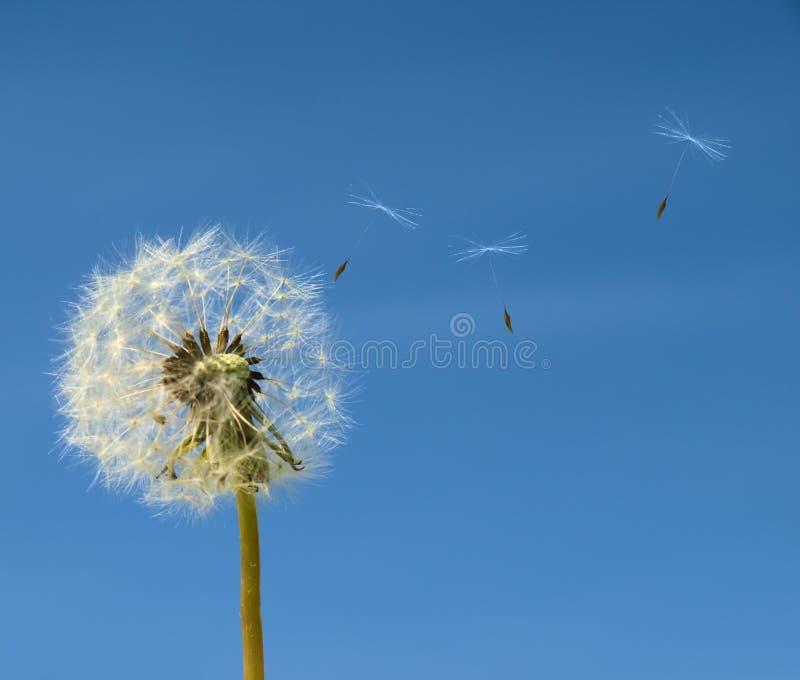 Paardebloem met zaad dat wegvliegt royalty-vrije stock afbeeldingen