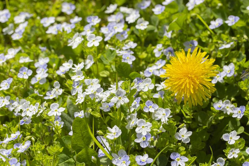 Paardebloem onder vergeet-mij-nietjes de heldere gele zonnige paardebloem bloeit vele blauwe kleine vergeet-mij-nietjes De tribun royalty-vrije stock foto