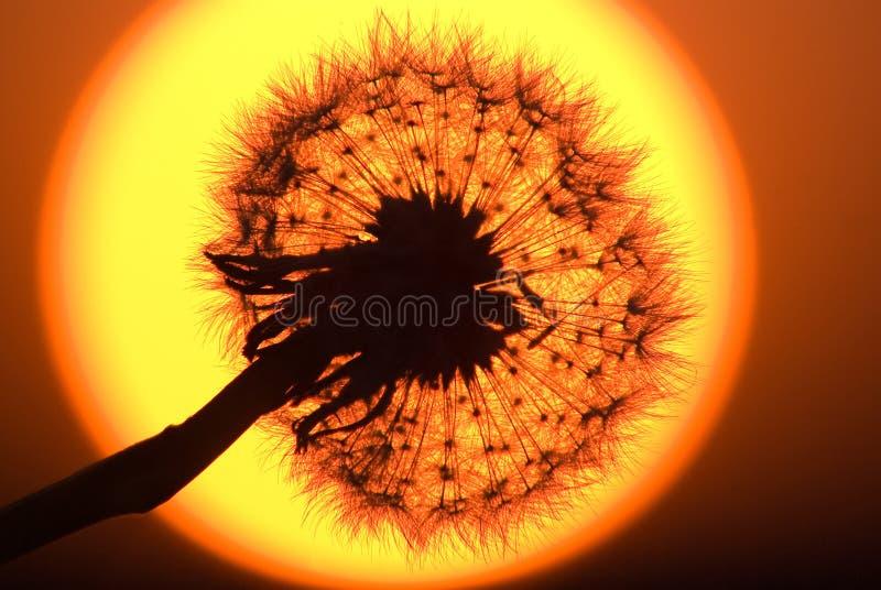 Paardebloem op de zonschijf stock afbeelding