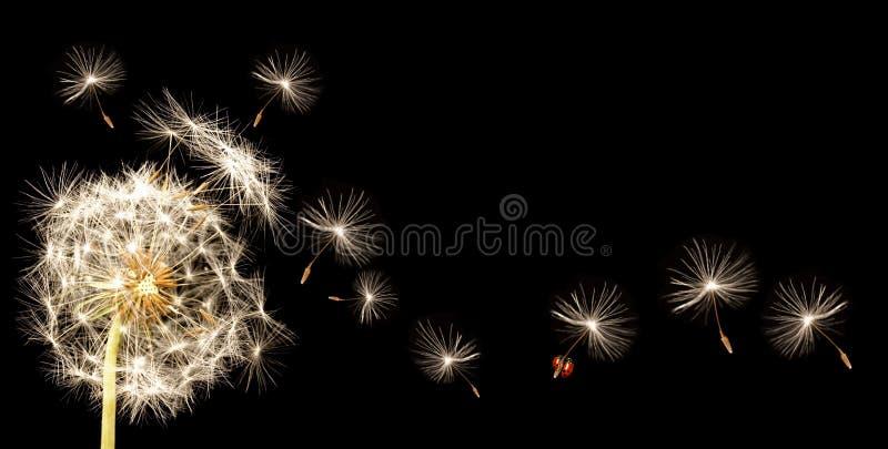 Paardebloem Vliegende Lieveheersbeestjes royalty-vrije stock foto's