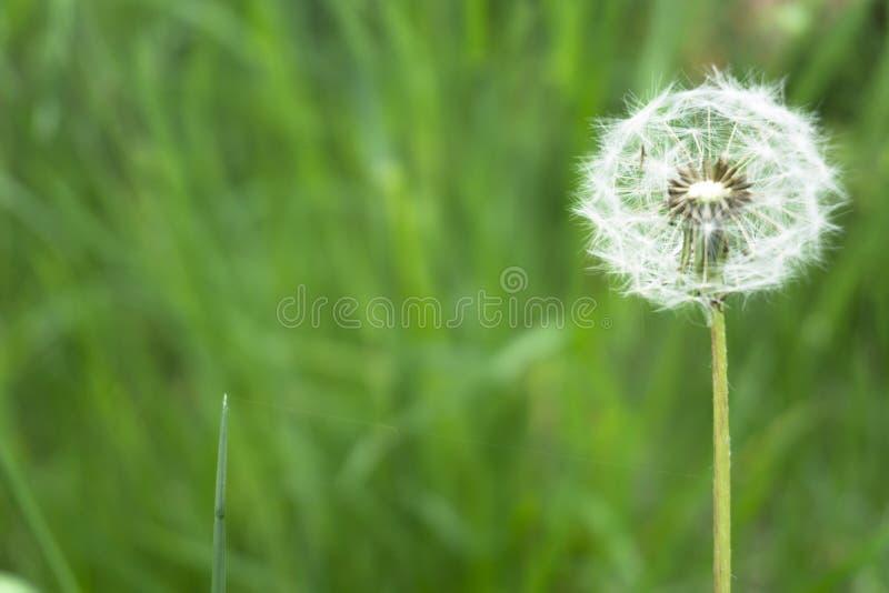 Paardebloembloem met zadenbal op gras dichte omhooggaande mening als achtergrond royalty-vrije stock foto's