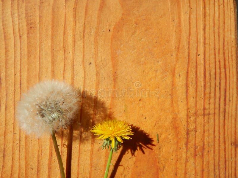 Paardebloembloemen op houten achtergrond stock fotografie