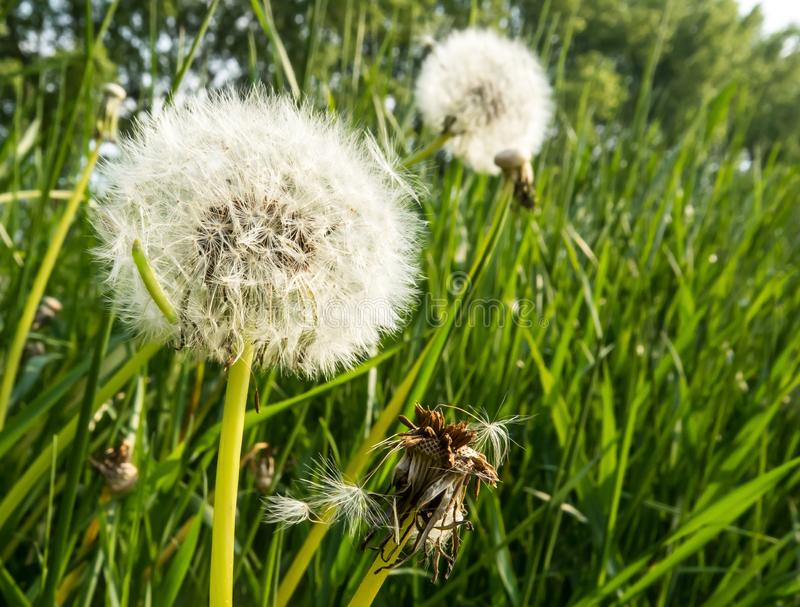 Paardebloemen en insecten in gras stock foto's