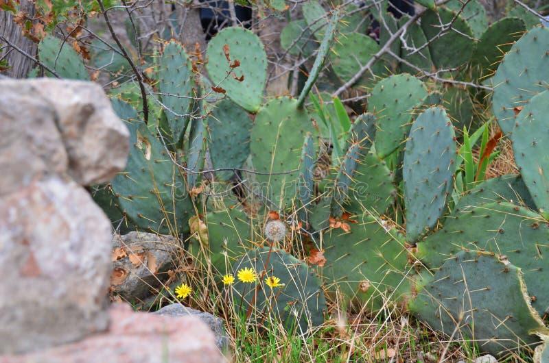 Paardebloemen en Vijgencactus stock foto's