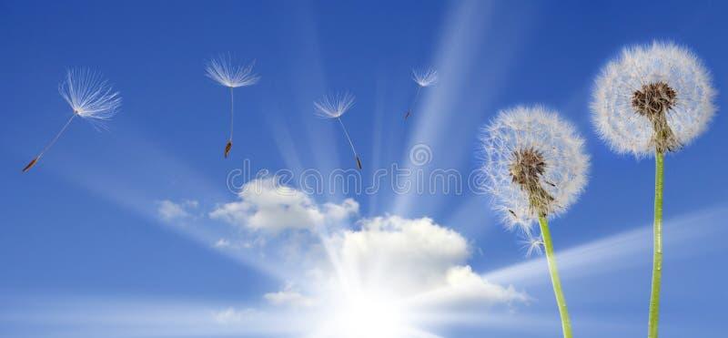 Paardebloemen op blauwe hemel stock foto's